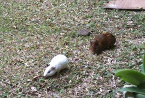 apakah ini binatang marmot?